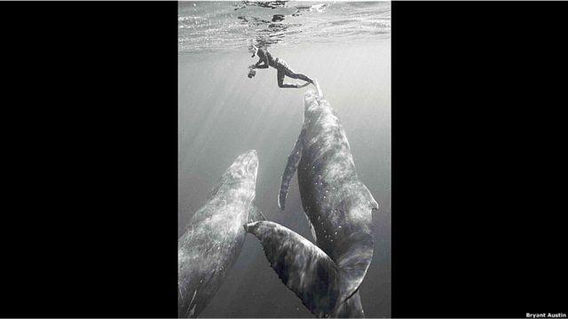 Bruant Austin con ballenas