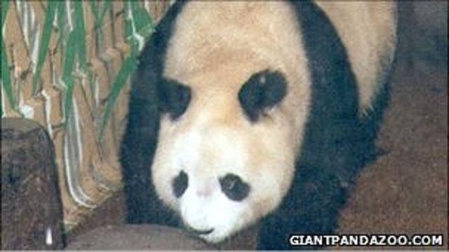 大熊貓明明在倫敦動物園(1993年資料圖片)