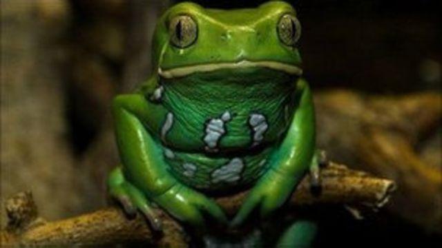 糯葉猴青蛙