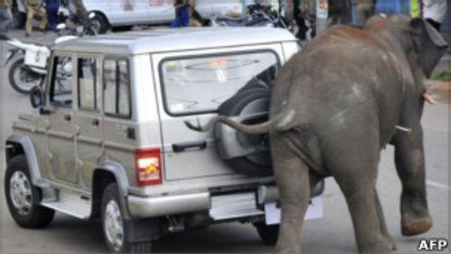 فیل وحشی در شهر مایسور هند