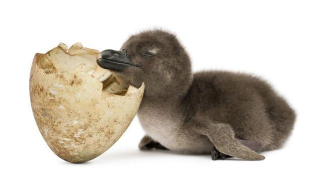 Filhote de pinguim-africano. Fotos: Eric Isselee-Caters