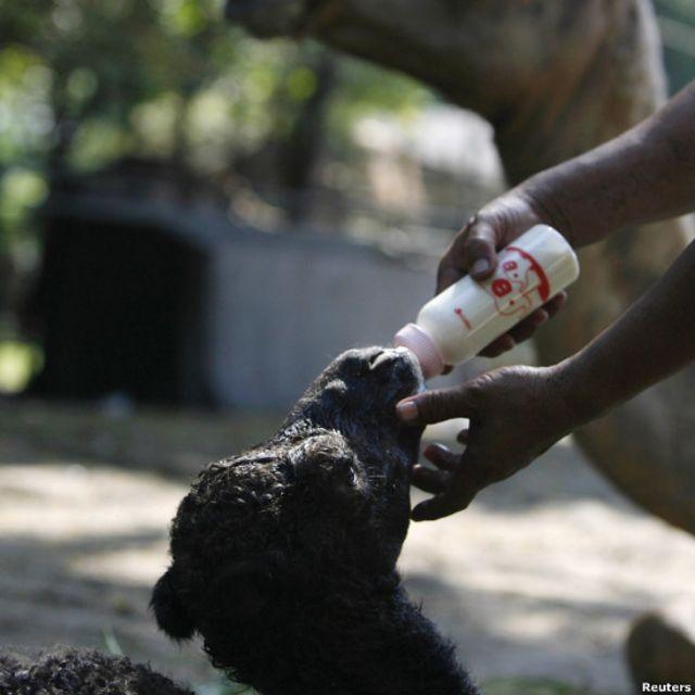 Bayi unta mendapat susu dari petugas KB Surabaya