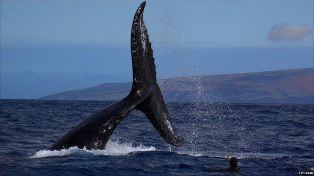 Juru kamera Doug Allan dan Didier Noirot mendekati raksasa laut dalam ini untuk acara BBC Ocean Giants. Ini adalah film paus jantan di lepas pantai Hawaii yang diambil Didier.