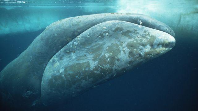 Paus kepala busur binatang tergemuk di dunia. Paus ini memiliki 50 ton lemak agar dapat tinggal di laut kutub. Paus ini juga diduga mamalia tertua. Usianya dapat mencapai 200 tahun.
