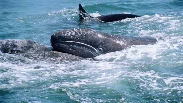 Paus abu-abu melakukan migrasi terpanjang mamalia, dari tempat pembiakan di ekuator ke daerah mangsa di kutub. Para peneliti mengisyaratkan perjalanan dilakukan untuk menghindari paus pembunuh.