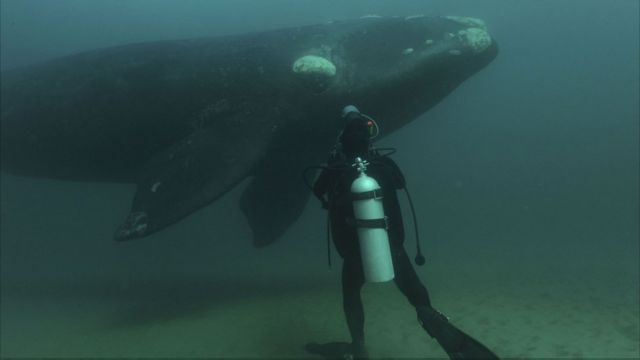 Paus kanan selatan jantan memiliki alat kelamin terbesar, seberat satu ton dan sepanjang 2,5 m. Ilmuwan mengaitkan hal ini dengan peningkatan persaingan sperma.