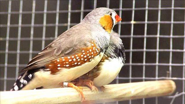 Aves diamantes mandarín (Taeniopygia guttata)
