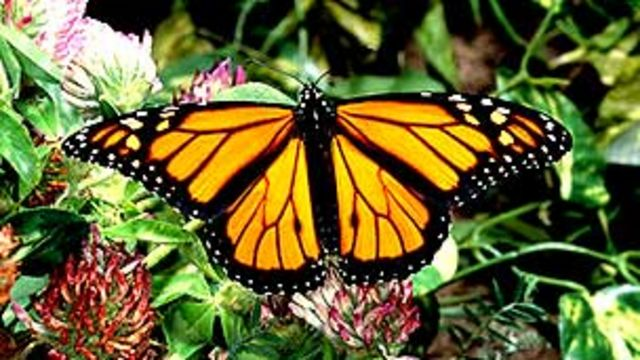 Mariposa monarca JOHN MITCHELL/SCIENCE PHOTO LIBRARY