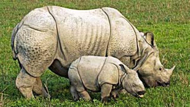 Rinoceronte en India con su cría TONY CAMACHO/SCIENCE PHOTO LIBRARY