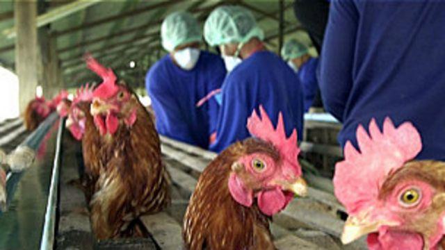bird flu, avian influenza, flu burung
