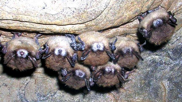 Murciélagos con el síndrome de nariz blanca Foto gentileza FWS New York Department of Environmental Conservation