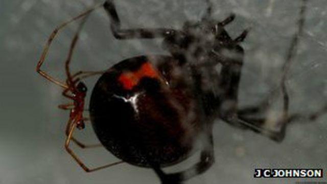 Araña viuda negra macho