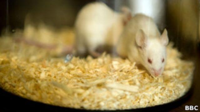 Ratos de laboratório usados em pesquisa médica (Foto: BBC)
