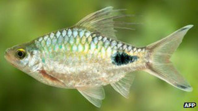 Рыбка Докинса
