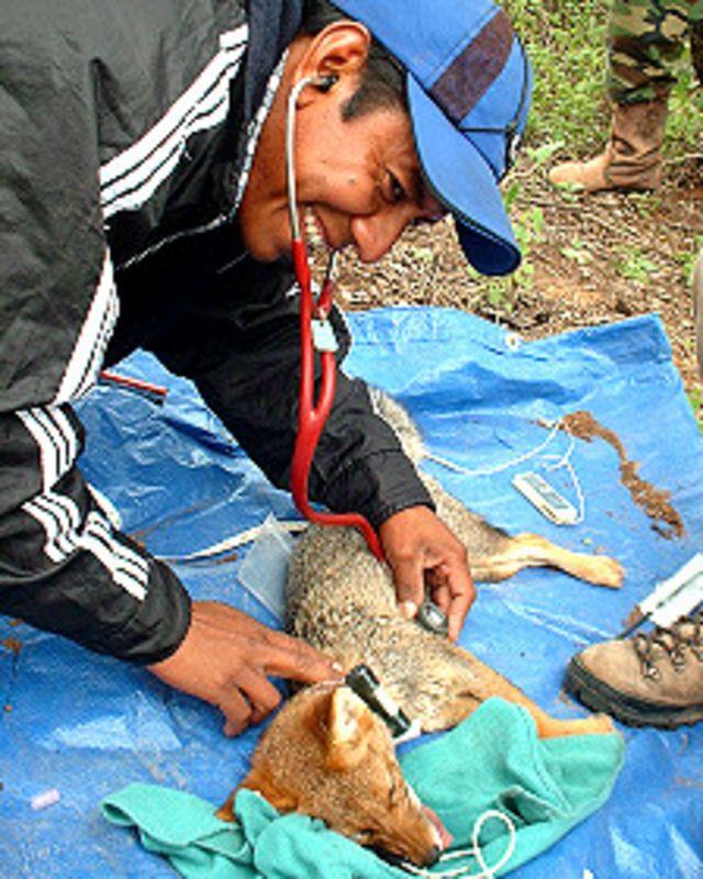 Jorge Segundo con un zorro que fue atrapado para colocarle un radiocollar