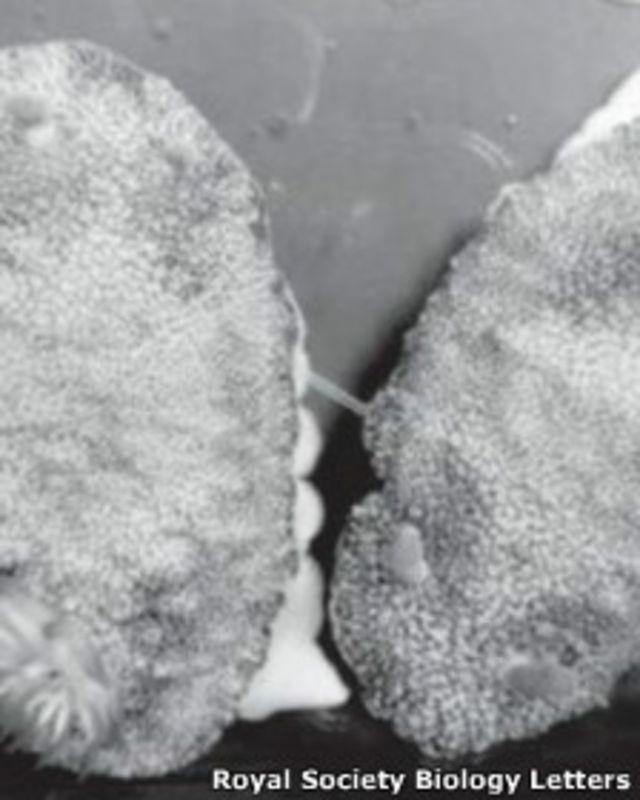 Chromodoris reticulata