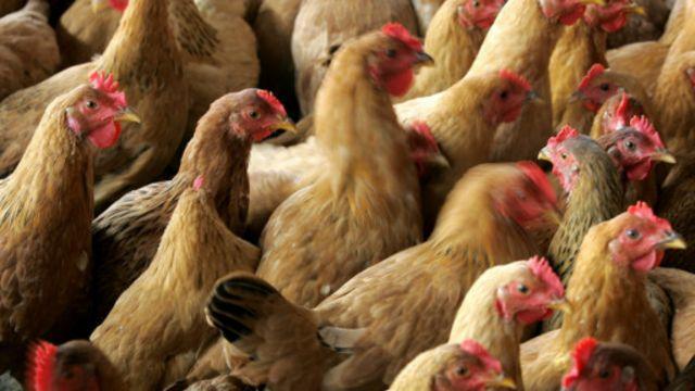 La grippe aviaire est transmissible de la volaille à l'homme.