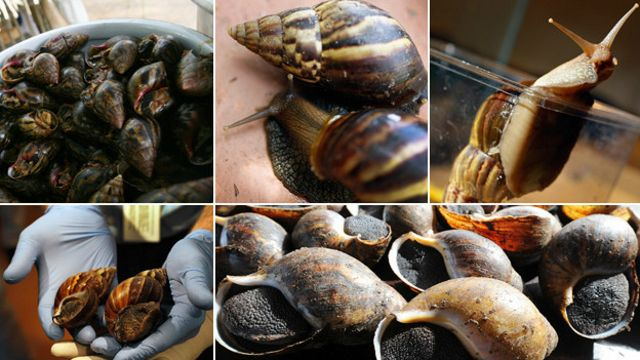 Caracol africano