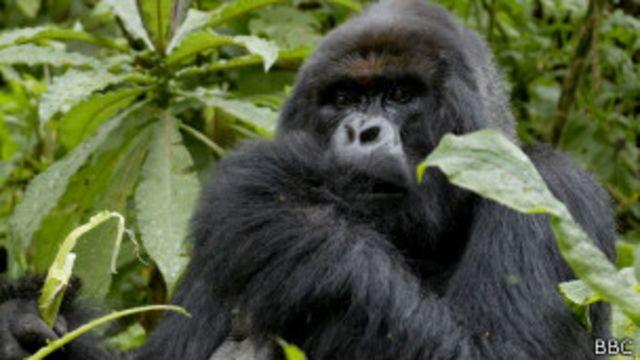 Un gorille de montagne dans le parc des Virunga