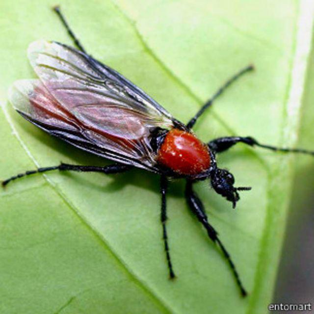 Комар-толстоножка, фото: @entomart