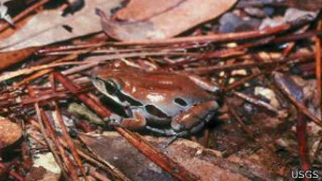 Anfibio Pseudacris ornata
