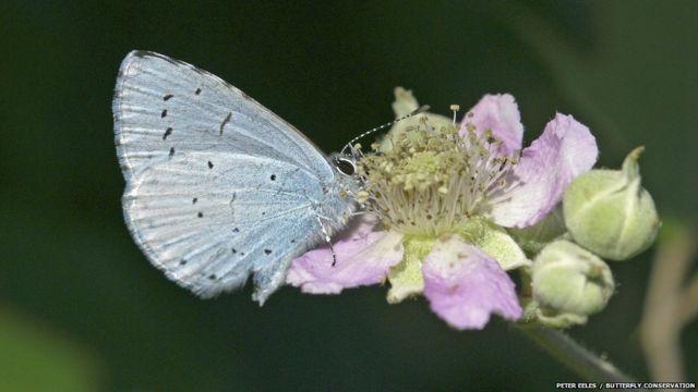 Çobanpüskülü Mavisi Kelebeği. Peter Eeles/Kelebek Koruma