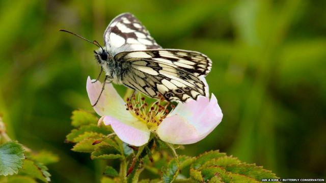 Damarlı Beyaz Kelebek. Ian A Kirk/Kelebek Koruma