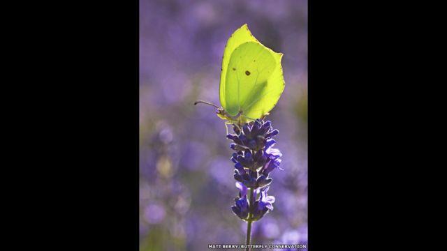 Orakkanat kelebeği. Matt Berry/Kelebek Koruma