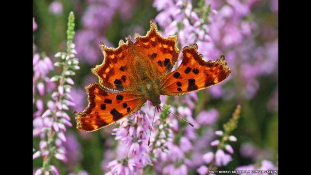 Comma kelebeği. Matt Berry/Kelebek Koruma derneği