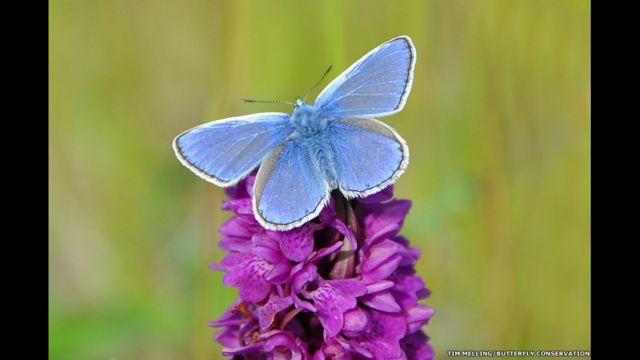 Otlak alanları tercih eden Çokgözlü Mavi Kelebeği, İngiltere ve İrlanda'da en sık görülen mavi kelebek türü.