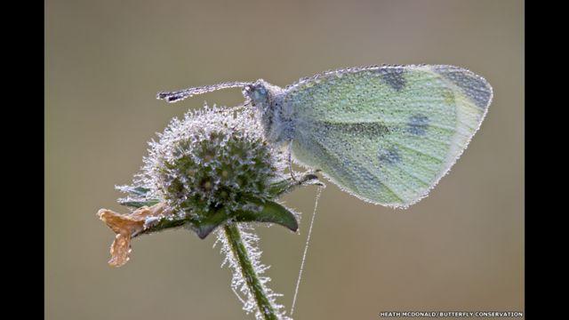 Küçük Beyazmelek. Heath McDonald/Kelebek Koruma