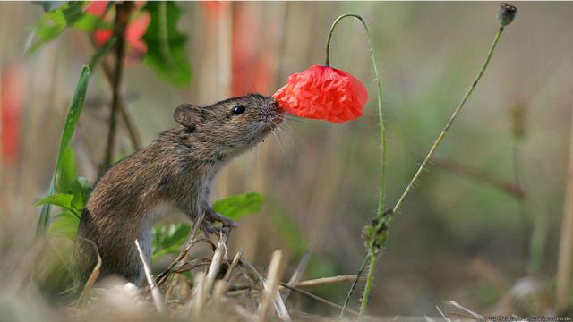 Ratón investigando una amapola