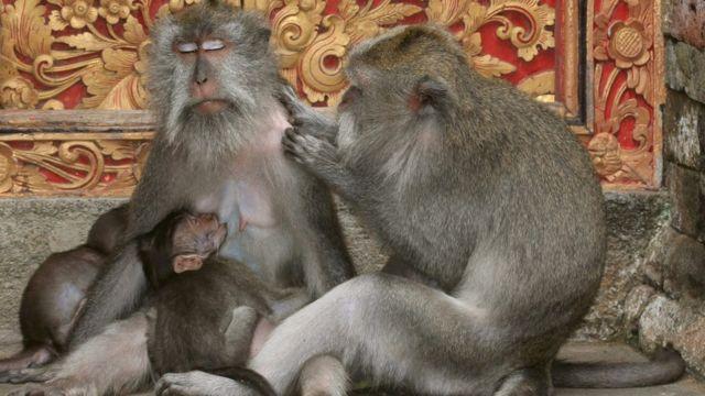 Macacos de cola larga