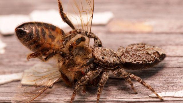Araña saltarina devorando abeja