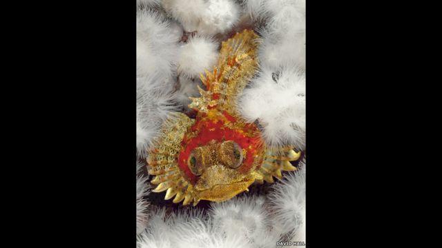 Hemilepidotus, sobre un fondo de anémonas de mar.