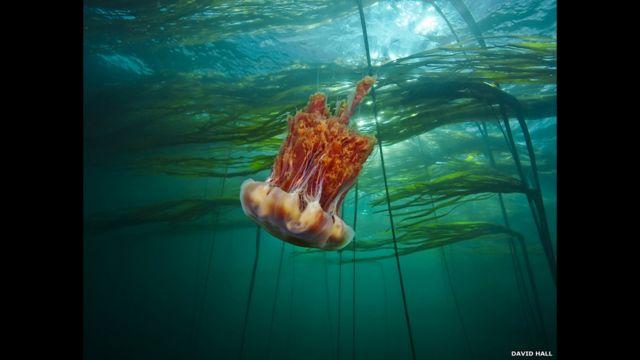 medusa melena de león ártica