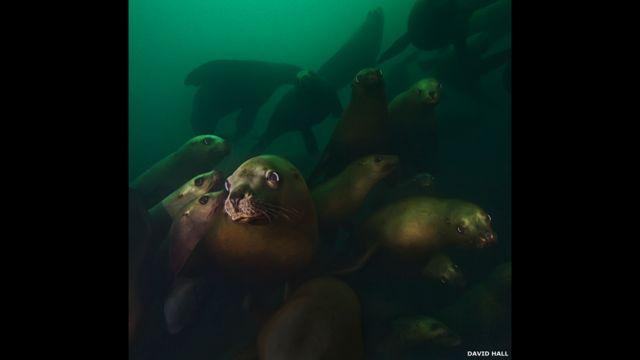 León marino de Steller