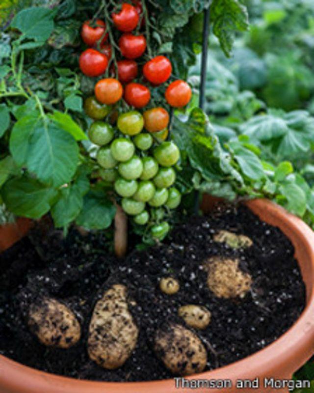 Tomtato La Planta Que Da Papas Y Tomates Bbc News Mundo