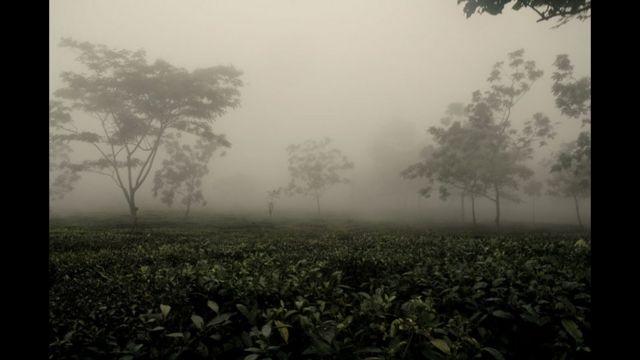 Plantación de té en India. Foto de Arindam Mukherjee