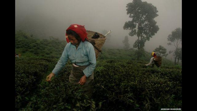 Recolectoras de té en plena labor. Foto de Arindam Mukherjee