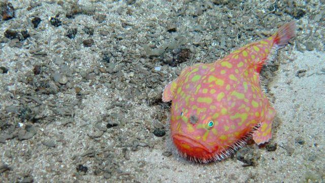 Fotos divulgadas por cientistas britânicos mostram criaturas do fundo do mar nunca antes vistas. | Foto: AD Rogers, University of Oxford/NERC