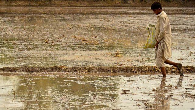 পাঞ্জাবের এই অঞ্চলে প্রধান খাদ্যশস্য হচ্ছে চাল।