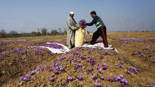 ladang saffron