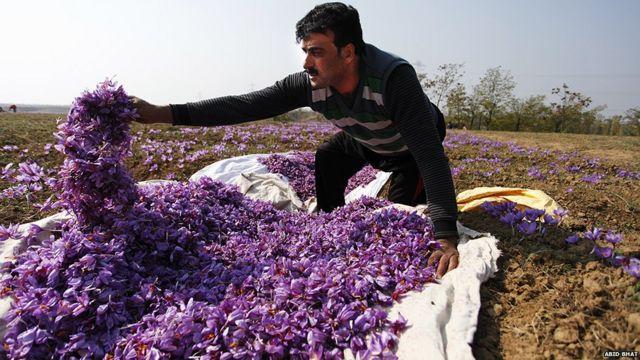 Kota kecil Pampore -dengan ribuan hektar ladang safron- terletak sekitar setengah jam dari ibukota musim panas Kashmir, Srinagar. Pampore sering disebut kota saffron.