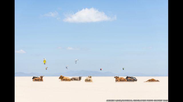 Vacas e pipas, por Andrew Lever