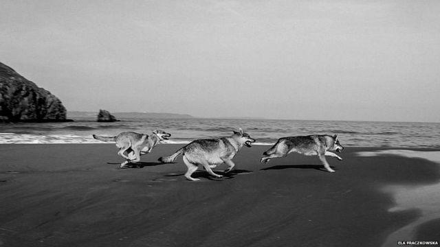 Anjing-anjing berlari di pantai