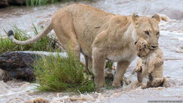 Flagrante no Quênia mostra luta e cuidado para leoa e filhote se juntarem ao resto do grupo de leões