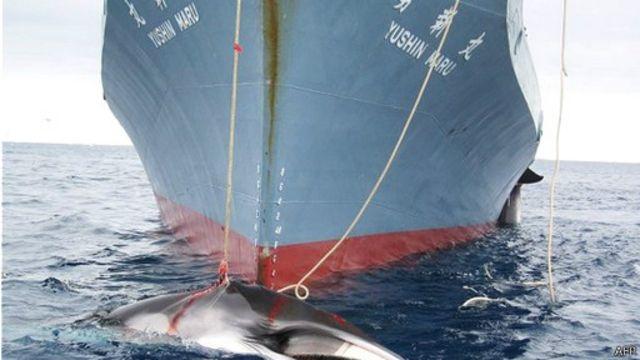 日本每年以科學研究為由捕殺大約一千條鯨魚。