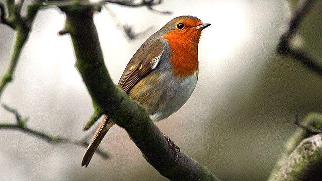 Burung Apakah Yang Akan Menjadi Simbol Nasional Inggris Bbc News Indonesia