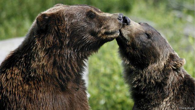 Два бурых медведя